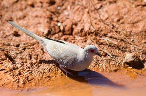 Diamond Dove Preparing to Take a Drink. Pilbara, Western Australia. Photo Credit: Jim Bendon