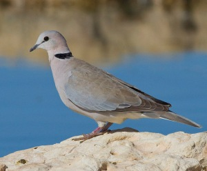 Ring-necked Dove Perched on a Rock. Photo Credit: Yathin S Krishnappa