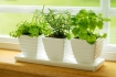 Green Herbs on a Window Sill