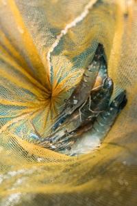 Prawns Galore! Photo Source: D'Kranji Fishing VIllage